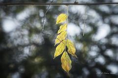 La foglia di un albero è lo sforzo senza fine della terra di comunicare con il cielo. (Debora Statuto) Tags: autunno foglia bokeh macro closeup autumn light leaves outdoor