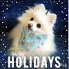 Merry Christmas to all my Flickr friends. Hope you all have a very happy holiday season (mariannedeselle (slowly catching up)) Tags: christmas spitz chien dog pom pomeranian molly