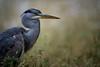 Graureiher (sfp - sebastian fischer photography) Tags: graureiher natur reiher vogel waid weinheim heron