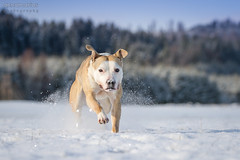 2017-12-18 (6) (annamarias.) Tags: winter wonderland snow sun beautiful dog pet american pit bull terrier pitbull staffordshire strong muscular fun blast happy