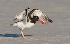 American Oystercatcher Nickerson beach ny. (mandokid1) Tags: canon 1dx ef400mmdoii birds nickerson