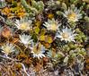 171216 105002 (friiskiwi) Tags: 1670m 5500feet raouliagrandiflora atthetop awaterevalley marlborough newzealand nz