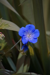 Blue Is My World (swong95765) Tags: flower blue symbol nature petite floral