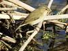 Felosinha (Phyloscopus collibyta) (Hugo Albuquerque) Tags: felosacomum felosinha phylloscopuscollybita aves avifauna avesemportugal asas avesemliberdade avesdomundo birds biodiversidade biologia biosfera birdwatcher bico birdwatching bird birdsoftheworld birdsineurope birdsinwild ecologia ecossistema ecosfera fauna fantasticnature faunaibérica foto fotografiadenatureza fotografia fotografiadeaves natureza nature naturaleza ornitologia observação observaçãoaves oiseaux paleárticoocidental paleártico wildlife westernpaleartic worldbirds wild zonashumidas zoologia zooesfera