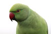 LOVE or HATE (billywhiz07) Tags: ringed necked parakeet parrot bird uk intruder escapee invasion bully green