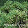 Kleinia neriifolia-5 (SUBENUIX) Tags: altressuculentes kleinianeriifolia suculentas subenuix subenuixcom planta suculent suculenta botanic botanical