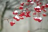 Happy New Year (berries cover with snow) (elenashen5) Tags: berries snow winter red