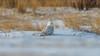 Snowy Owls of New Jersey | 2017 - 22 (RGL_Photography) Tags: birding birds birdsofprey birdwatching buboscandiacus gardenstate jerseyshore monmouthcounty mothernature nature newjersey nikonafs600mmf4gedvr nikond500 ornithology owls raptors snowyowl us unitedstates wildlife wildlifephotography beachowl
