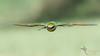 Rainbow Bee-eater (VS Images) Tags: rainbowbeeeater meropsornatus meropidae male beeeaters birds bird birding bif birdsinflight flight feathers wildlife wildlifephotography australianbirds australia nsw nature ngc naturephotography getolympus m43 vassmilevski vsimages olympus olympusau