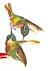 Adieu! 'Tis loves last greeting, the parting hour is come and fast thy sole is fleeting, to seek its starry home (Irene2727) Tags: hummingbird bird hummers wings colors beaks nature avian outside