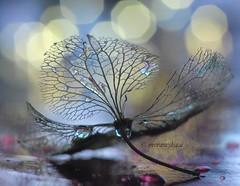 hydrangea (agnieszka.a.morawska) Tags: bokeh bokehphotography bokehphoto macrophotography macro macroflower hydrangea flower helios helios44m manuallens oldlens light