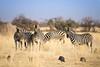 (ch.gunkel) Tags: africa afrika etoscha etosha namibia natur savanne tierwelt nature savanna wildlife zebra