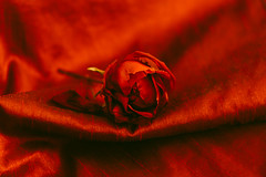 Love and Passion (Inka56) Tags: redrules rose silk passion 7dwf smileonsaturday flickrfriday bestwishes red