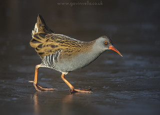 Water Rail on  Ice 7th January
