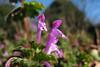 Lamium amplexicaule  ホトケノザ (ashitaka-f studio k2) Tags: flower pink japan lamium amplexicaule ホトケノザ シソ科 lamiaceae
