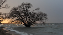 Blowin' In The Wind (maco-nonch★R) Tags: bobdylan lake biwako stormy strongwind windy winter canon eosm5 ef50mmf18stm mountadapterefeosm 琵琶湖 japan rainy alonetree tree 木 湖 古代湖 ancient landscape wave waves 波 cold christmas wild strongtree