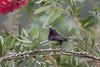 Black Throated Sunbird (My Pixel Magic) Tags: sunbird blackthroatedsunbird smallbird bird birdphotography nature naturecolor wildlife wildlifephotography cutebird beautifulbird
