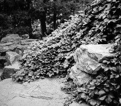 Leaves, stone and time (Dechiffreur) Tags: shanghaigp3 makina670 primefilm120pro d76 film