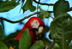 Scarlet macaw (Ara macao) (phl_with_a_camera1) Tags: costa rica nature scarlet macaw ara macao parrot bird birding animal