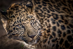 Watchful (helenehoffman) Tags: amurleopard conservationstatuscriticallyendangered felidae mammal panthera sandiegozoo cat feline fareasternleopard pantherapardusorientalis bigcat animal