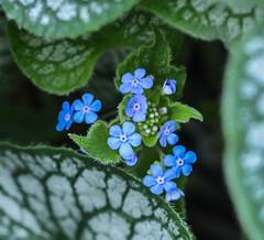 Center in Blue. (Omygodtom) Tags: green bokeh blue macrodreams macro flower flickr coth5 7dwf tamron90mm tamron existinglight nikkor nature nikon dof contrast google flora d7100 detail diamond