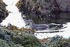 Eurasian Otter, Coillegillie, Highland, Scotland (Terathopius) Tags: europeanotter coillegillie highland scotland unitedkingdom uk greatbritain gb lutralutra nearthreatened eurasianotter