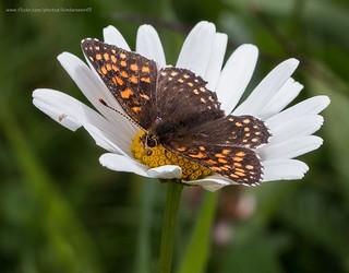 False heath butterfly