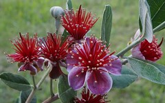Feijoa blooms... (spelio) Tags: sonya6000 new camera test a6000 good flower orig gone
