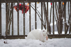 Our English Lop in the snow (jecht360) Tags: snow atlanta georgia rabbit bunny white