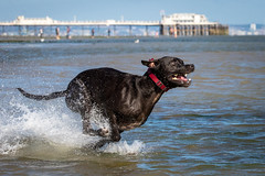 Dingo (Paul`s dog photography) Tags: dingo ef70200mm f28l is ii usm canon eos 7d mark