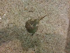 Horseshoe crabs (4) #toronto #ripleysaquarium #aquarium #horseshoecrabs #crabs #crustacean  #latergram (randyfmcdonald) Tags: crabs ripleysaquarium latergram crustacean aquarium horseshoecrabs toronto