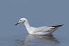 Slender Billed Gull (ToriAndrewsPhotography) Tags: slender billed gull portugal photography andrews tori retouch