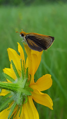 Poweshiek skipperling male by Tamara Smith; USFWS (U.S. Fish and Wildlife Service - Midwest Region) Tags: skipperling insect pollinator prairie endangered endangeredspecies poweshiekskipperling wildlife animal butterfly summer seasons
