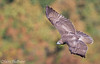 """""""In The Bowl"""" (Red-Tailed Hawk) (Mitch Vanbeekum Photography) Tags: redtailedhawk red redtailed hawk flying fly flight fall autumn colors leaves statelinelookout alpine nj newjersey mitchvanbeekum mitchvanbeekumcom canon14teleconvertermkiii canoneos1dx canonef500mmf4lisiiusm"""