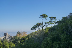 Habitantes del lugar (palm z) Tags: sintra portugal castelo mouros castillo moros ruinas árbol