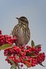 redwing (2) (colin 1957) Tags: redwing berries chats thrush 1001nightsmagiccity
