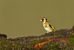GOLDFINCH (tony.cox27) Tags: goldfinch