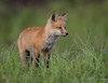 Red Fox -  Pup or Kit (Turk Images) Tags: aspenparkland foxden northernplainsredfox vulpesfulva alberta canidae mammals redwater spring