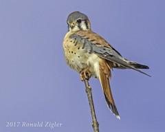 American Kestrel IMG_6666 (ronzigler) Tags: american kestrel falcon raptor bird birdwatcher nature avian sigma 150600mm canon 60d falco sparverius