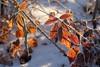 Frozen nature (STE) Tags: gelo frost frosty foglie leaves inverno winter freddo cold ghiaccio ice fuji fujifilm xt20 frozen