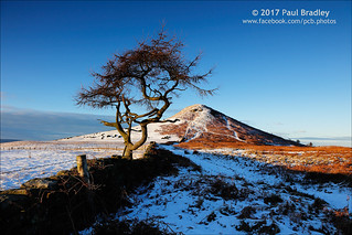 Roseberry and Tree