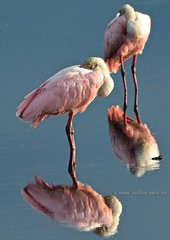 Roseate Spoonbill watching (c) 2017 Susan Faulkner Davis All rights reserved.