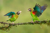 Brown-hooded Parrot (Pyrilia haematotis) displaying (Chris Jimenez Nature Photo) Tags: vegetation birding colorfull displaying brownhoodedparrot chrisjimenez leastconcern perched parrots loras red blue wildlife costarica bird sideview colors wings fly pyriliahaematotis twoanimals centralamerica