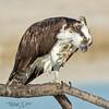 Got an Itch? (MyKeyC) Tags: osprey scratch pandionhaliactus perch perched portrait talons florida seaeagle