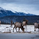 Jasper Elk Herd thumbnail