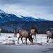Jasper Elk Herd