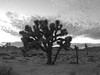 Joshua Tree (chng8) Tags: apple iphone 5s california joshuatree national park tree desert usa
