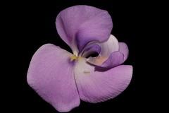 Vigna vexillata var. angustifolia (andreas lambrianides) Tags: vignavexillatavarangustifolia fabaceae wildcowpea australianflora australiannativeplants purpleflowers nsw qld nt
