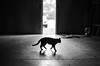 katie (Jen MacNeill) Tags: cat cats feline kitty kitties pet animal bnw blackandwhite barn farm littledoglaughednoiret