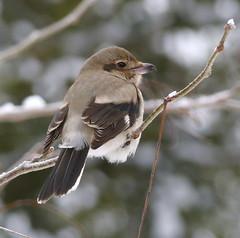 northern shrike-juvenile (mikewiz) Tags: birds shrikes northernshrike laniusexcubitor butcherbird grandforksbc